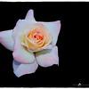 2016-12-04_PC040013_ Pristine Rose,Clwtr,Fl