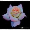 2016-12-04_PC040009_ Pristine Rose,Clwtr,Fl