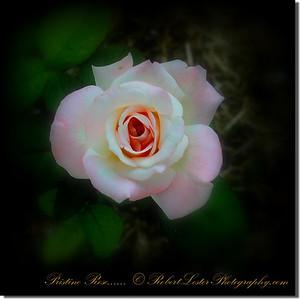 Pristine Rose_IMG_9216__2014-05-23