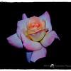 2016-12-04_PC040008_ Pristine Rose,Clwtr,Fl