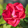 2018-09-24_P9240039_Red rose