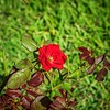 2019-09-22_m1 40x150iso200 red rose__9220002