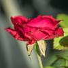 2018-09-24_P9240035_Red rose