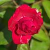 2018-09-24_P9240034_Red rose
