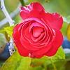 003_red rose_ m1300_20211021