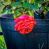 Red rose_2017-11-17-178716