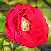 _A310002_ iso500 Red rose_  vibrant,nr150
