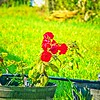 004_red rose_2020-06-16
