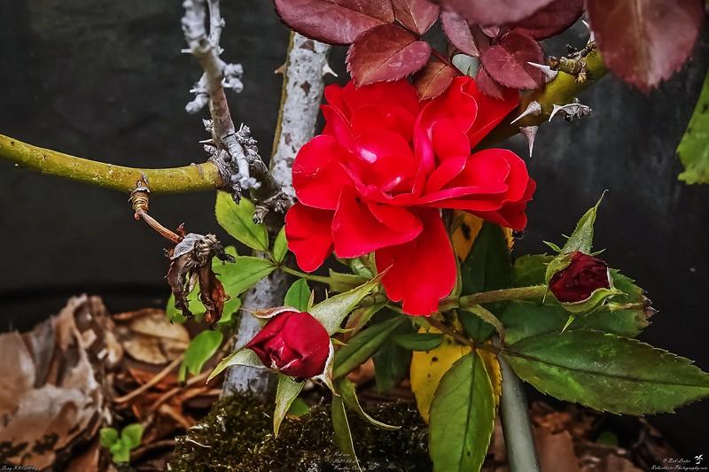 001_red rose_2021-05-20