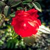 2017-10-19_P1340119_red rose,america night lighter