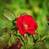 2019-09-22_m1 40x150iso200 red rose__9220001