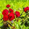 P6120199_red rose