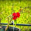 PA030004_red rose