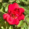 2019-10-04_1000 fzkap red rose_P1380217_8_9crop,sharp65