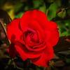P6080001_red rose