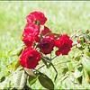 P1080688_red rose