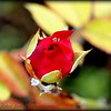 2017-06-07_P6070002_red rose,clwtr