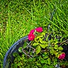 001_Red Rose 12x40 p_2021-08-09