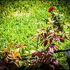 P5300034_ red rose