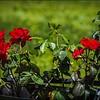 P5080013_red rose