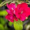 PA030009_red rose