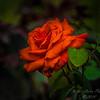 red rose   (am center spot)   2018-03-02-3020016