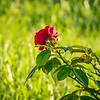 2019-07-28_0900 fz1000 ap raw   red rose_P1370098