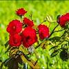 P6120198_red rose