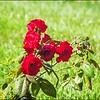 P1080684_red rose