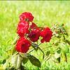P1080689_red rose