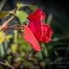 Red rose  (photo+am workf2)   2018-03-13