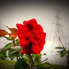 _003_red rose_03222021
