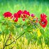 2019-07-28_0900 fz1000 ap raw   red rose_P1370094_Detailed