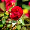 2019-06-04_m1,ap,f4,iso50040x150  rose bloom_2_natbutedgy+colorsat-0 5