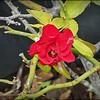 P7150005_ red rose