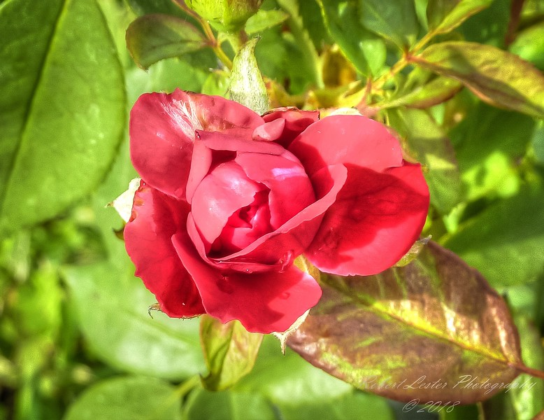Red Rose,2018-07-14,amfull,crop-1150035_2 - Your Parents Know