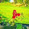 006_red rose_2020-06-16