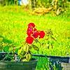 002_red rose_2020-06-16