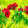 2019-07-31_m1 300mm ap f5 6 eb0 iso640 meterspot roses red rose___7310014_detailed