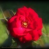 2017-05-08_P5080003_Red rose,Clwtr,Fl