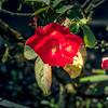 2017-10-19_P1340120_red rose,america night lighter