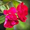 PA030025_red rose