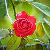 001_red rose_ m1300_20211021