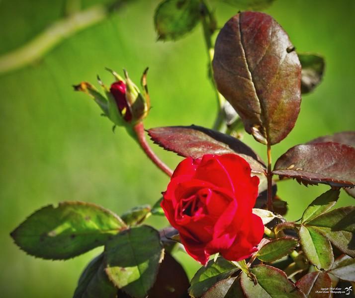 2020-11-19_03_Red rose copy