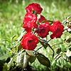 005_red rose_2020-06-16