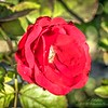 _A310001_ iso500 Red rose_  vibrant,nr150