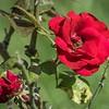 PA250007_  red rose