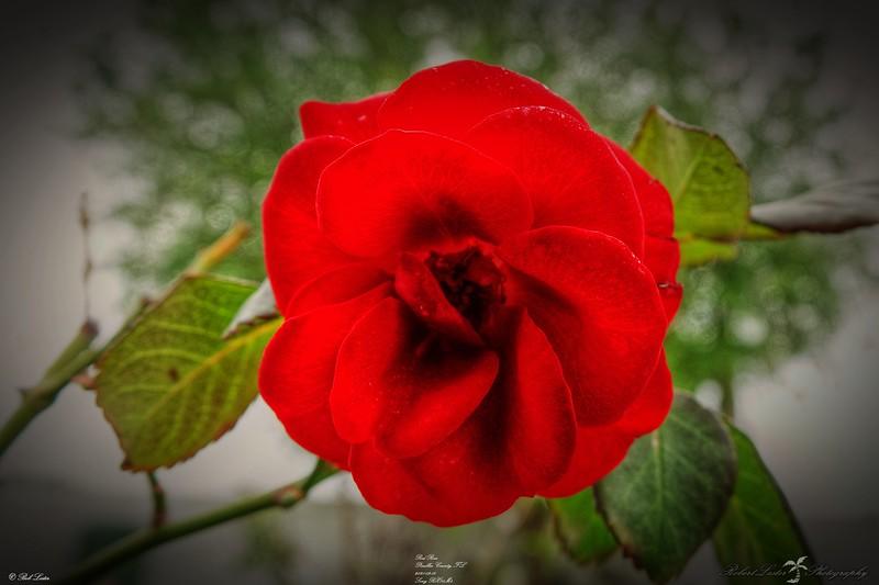 _001_red rose_03222021