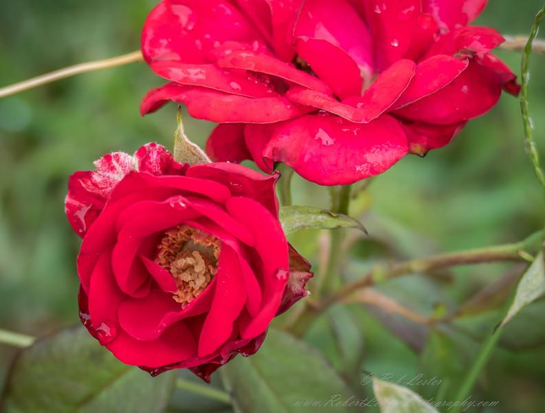 2018-11-14_P1350566_fz1000 ap red rose