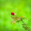 _B080008_ red rose_ detailednr150